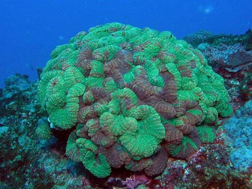 ハナガタサンゴ