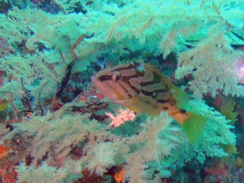 ホウキハタの幼魚