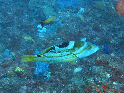 イヤゴハタ(若魚)