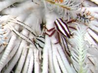 コマチコシオリエビ