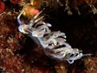 クセニアウミウシ