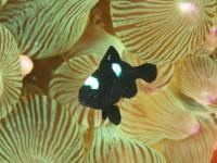 ミツボシクロスズメダイの幼魚