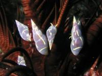オオウミシダトウマキクリムシ