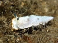 サギリオトメウミウシ