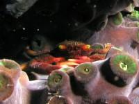 サンゴガニ