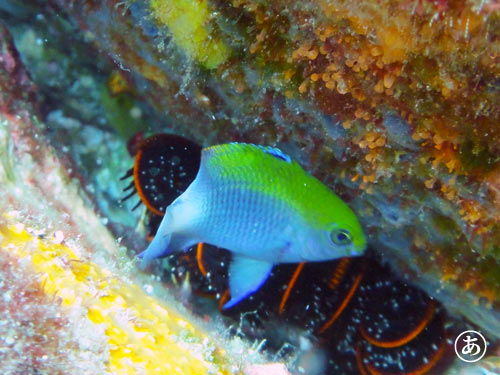 セダカスズメダイの幼魚