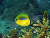 スミツキトノサマダイの幼魚