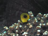 トノサマダイの幼魚