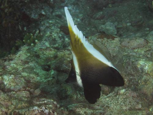 ツノハタタテダイの幼魚