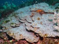 ウスカミサンゴ
