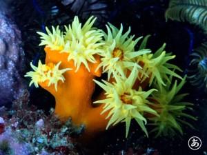 ナガイボキサンゴ