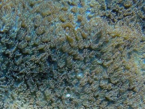 ベルベットサンゴ