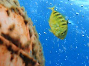 コガネシマアジ(幼魚)