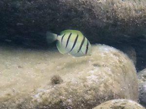 シマハギの幼魚