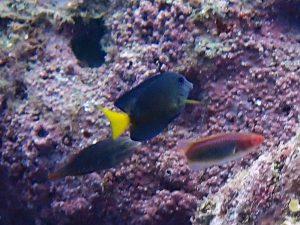 コクテンサザナミハギ(幼魚)